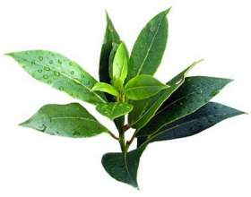 Эфирное масло чайного дерева для волос фото