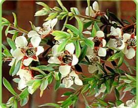 Отличное средство от перхоти – эфирное масло чайного дерева фото